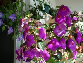 phoca_thumb_l_achimenes-crazy-purple9