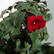 phoca_thumb_l_achimenes-red-diamond-1