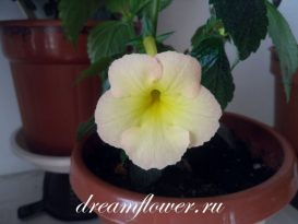phoca_thumb_l_achimenes-strawberry-lemon-1