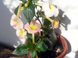phoca_thumb_l_achimenes-strawberry-lemon-5