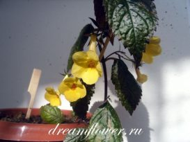 phoca_thumb_l_achimenes-yellow-beauty-4
