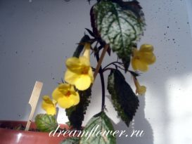 phoca_thumb_l_achimenes-yellow-beauty-6