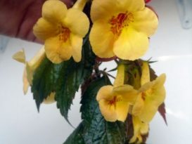 phoca_thumb_l_achimenes-yellow-beauty-9