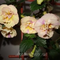 phoca_thumb_l_achimenes-yellow-english-rose-1
