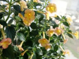 phoca_thumb_l_achimenes-yellow-fever-10