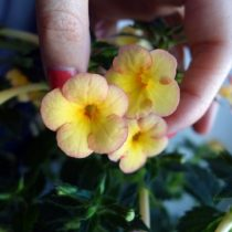 phoca_thumb_l_achimenes-yellow-fever-3