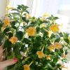 phoca_thumb_l_achimenes-yellow-fever-7