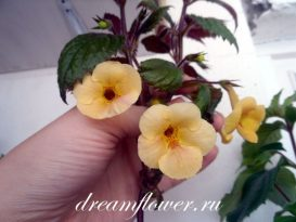 phoca_thumb_l_achimenes-yellow-queen-1