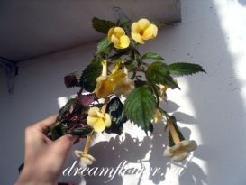 phoca_thumb_l_achimenes-yellow-queen-10