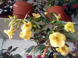 phoca_thumb_l_achimenes-yellow-queen-11