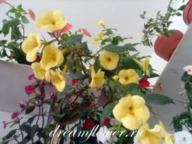 phoca_thumb_l_achimenes-yellow-queen-13
