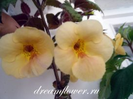 phoca_thumb_l_achimenes-yellow-queen-2