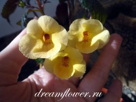 phoca_thumb_l_achimenes-yellow-queen-3