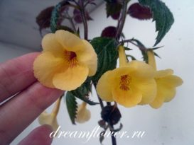 phoca_thumb_l_achimenes-yellow-queen-4