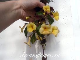 phoca_thumb_l_achimenes-yellow-queen-5