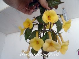 phoca_thumb_l_achimenes-yellow-queen-7
