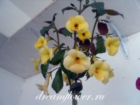 phoca_thumb_l_achimenes-yellow-queen-8