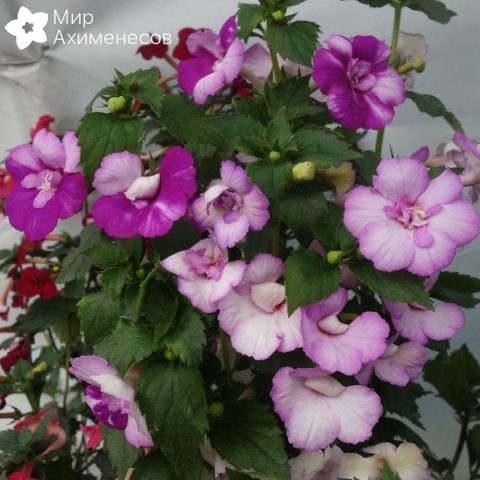 achimenes-queen-of-lace-03