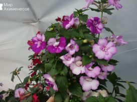achimenes-queen-of-lace-04