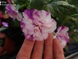 achimenes-queen-of-lace-05