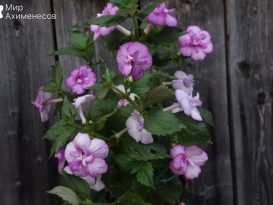 achimenes-queen-of-lace-06
