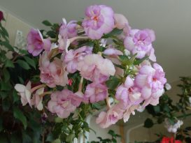 achimenes-queen-of-lace-12