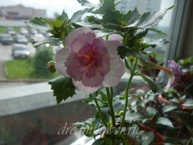 achimenes-queen-of-lace-17