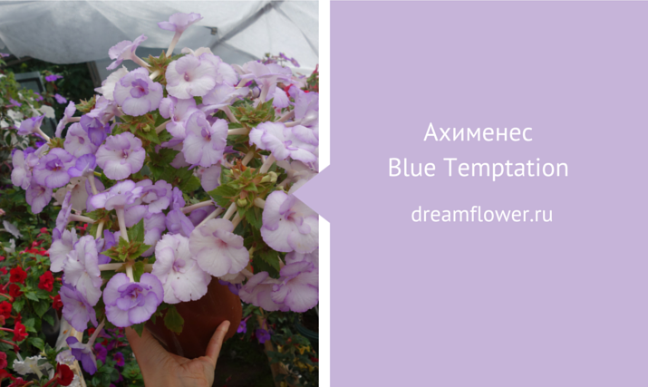 blue-temtation