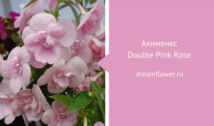 double-pink-rose