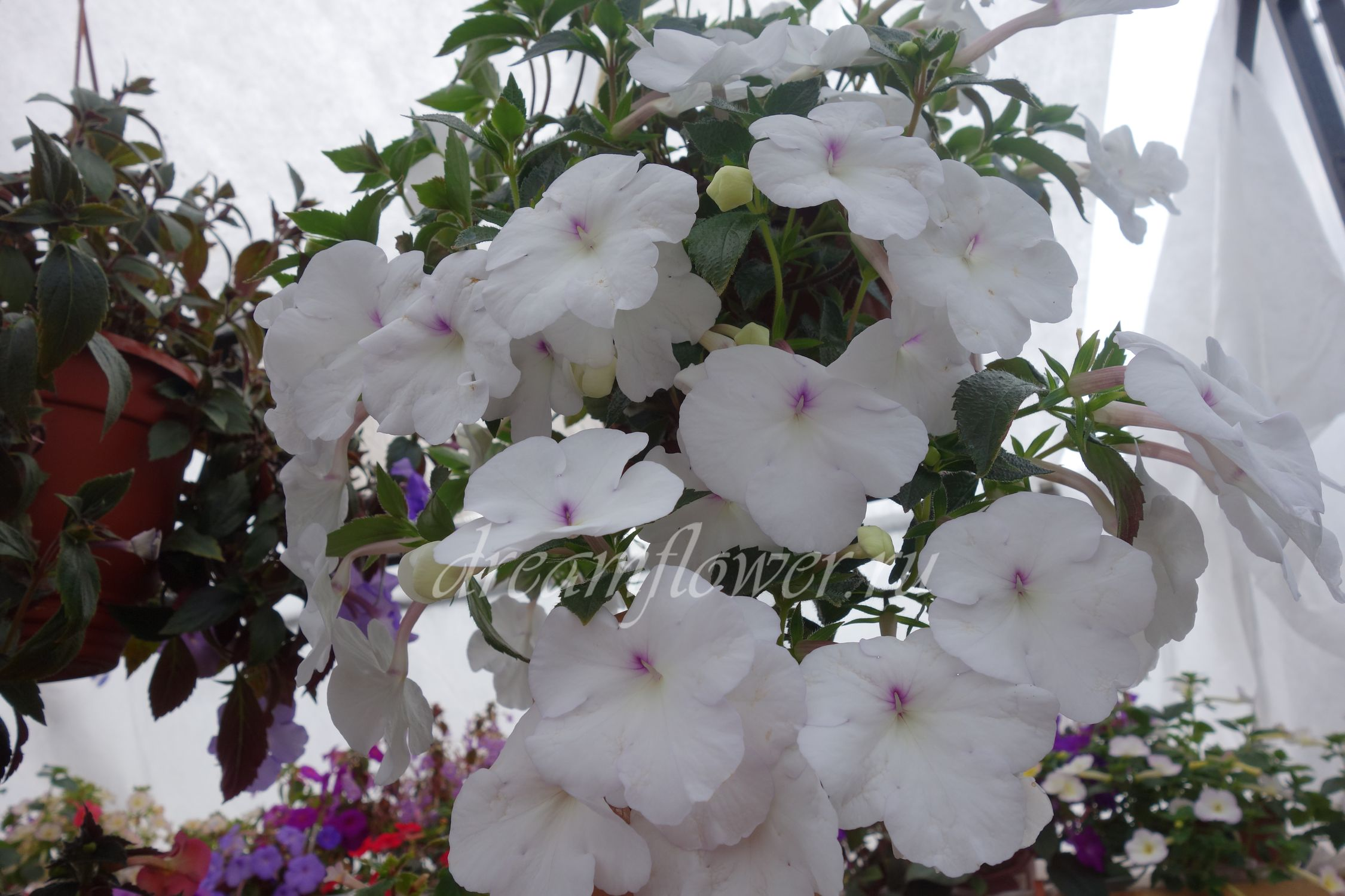 achimenes-white-princess-2