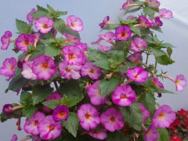 achimenes-splattered-rainbow-02