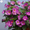 achimenes-splattered-rainbow-03