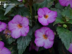achimenes-splattered-rainbow-04