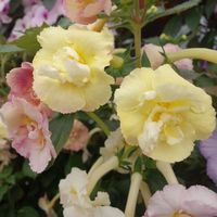 yellow-english-rose