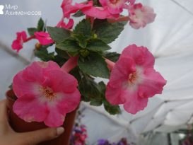 ahimenes-apple-blossom-0002