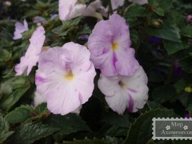 achimenes-blueberry-lemon-foto-7