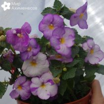 achimenes-light-lilac-02