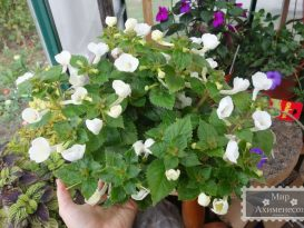 achimenes-texas-polar-bear-1