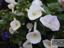 achimenes-texas-polar-bear-3