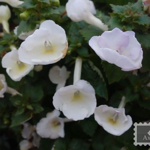 achimenes-texas-polar-bear-4