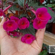 achimenes-grape-tears-foto-4