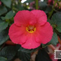 achimenes-peach-cascade-improved-foto-5