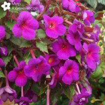 achimenes-total-eclipse-05