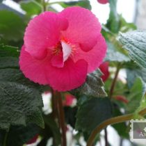 achimenes-dale-martens-improved-foto-3
