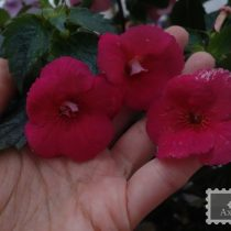 achimenes-dale-martens-improved-foto-5