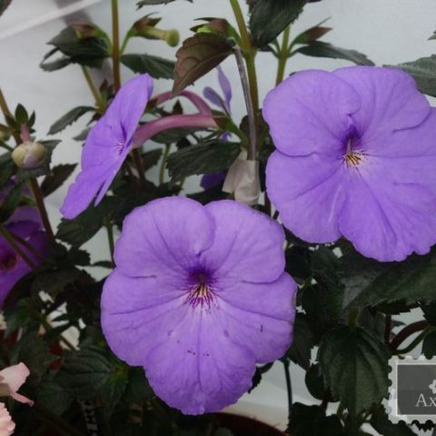 achimenes-forget-me-not-foto-1