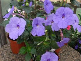 achimenes-forget-me-not-foto-10