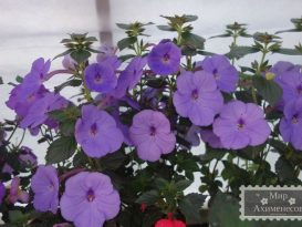 achimenes-forget-me-not-foto-13