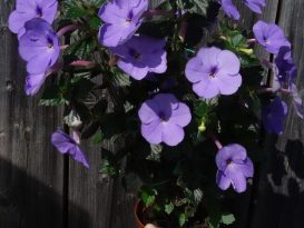 achimenes-forget-me-not-foto-17