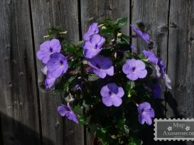 achimenes-forget-me-not-foto-18